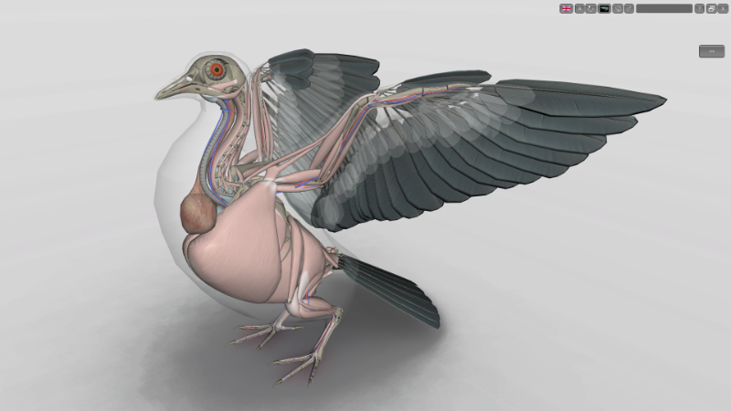 pigeon anatomy muscles