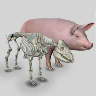 pig anatomy software