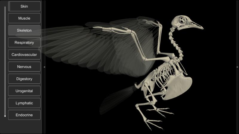 pigeon skeleton 3D