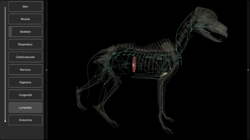 3D dog lymphatic system