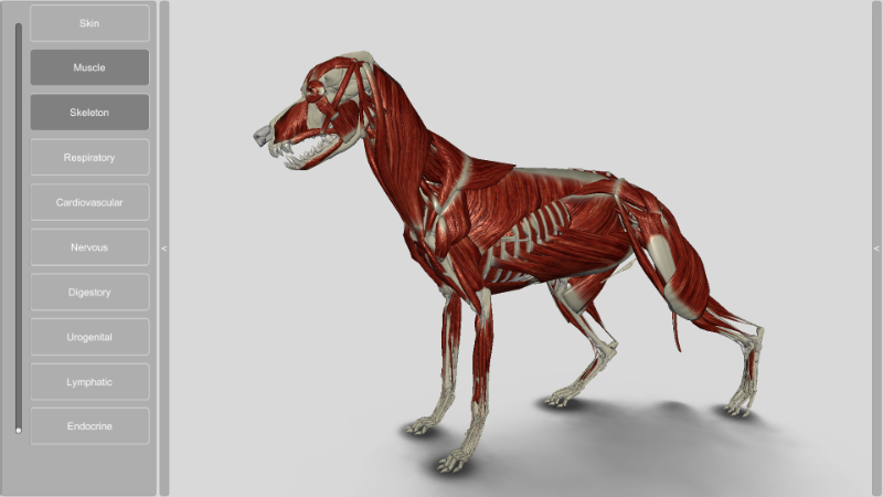 3D Dog muscles