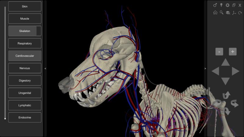3D dog cardiovascular system