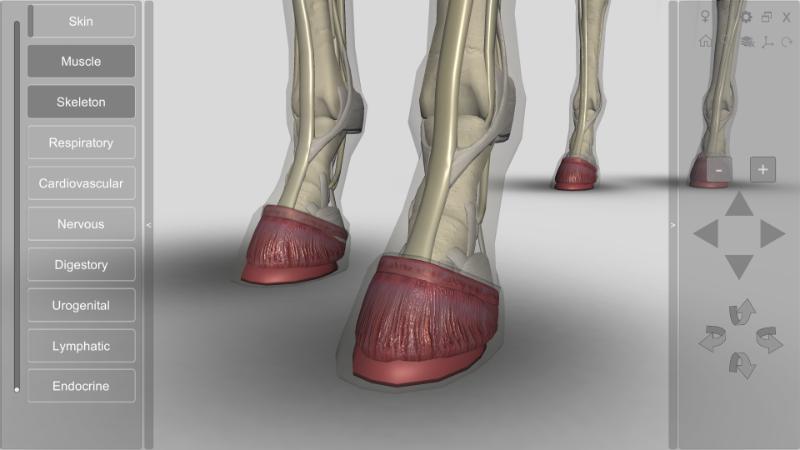 horse anatomy - hoof