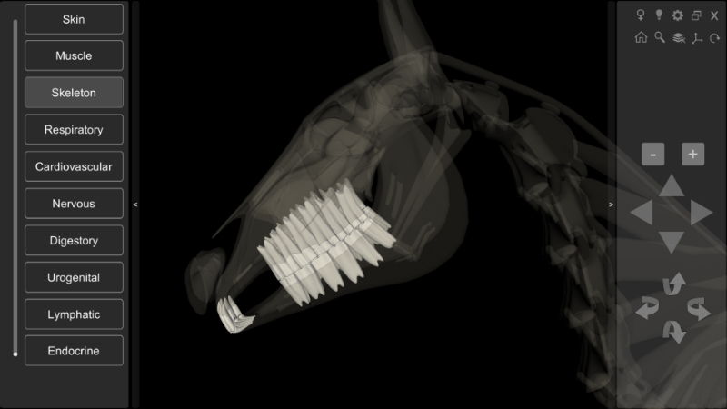 horse anatomy - teeth