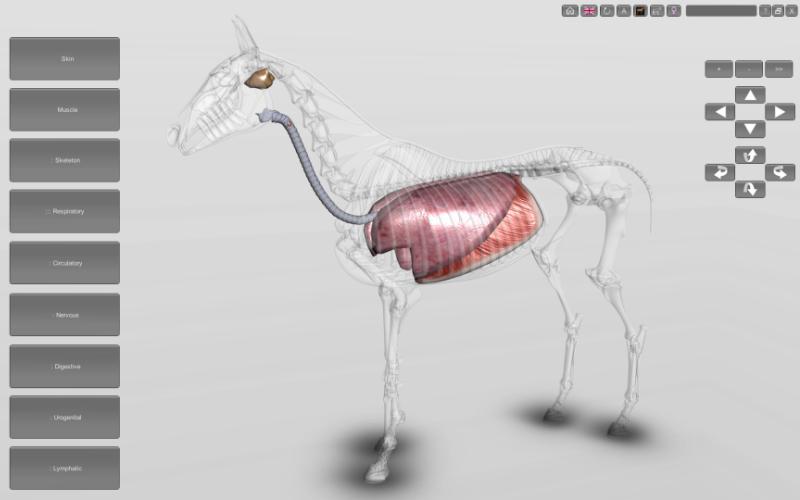 horse respiratory system