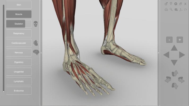 3D Human Anatomy - feet