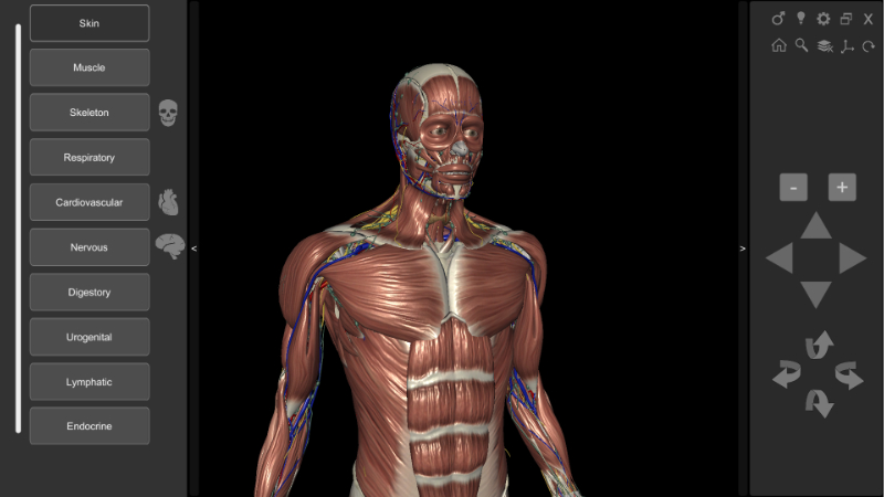 3D Human Anatomy - muscles