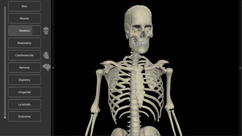 3D Human Anatomy - skeleton