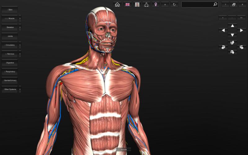 virtual human - muscles